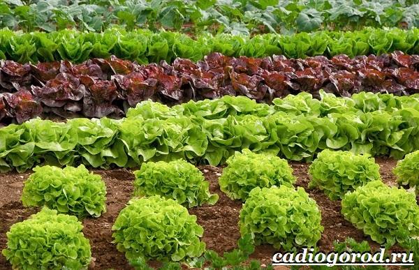 Выращивание-салата-Как-и-когда-сажать-салат-Уход-за-салатом-18