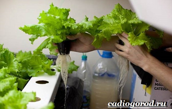 Выращивание-салата-Как-и-когда-сажать-салат-Уход-за-салатом-19