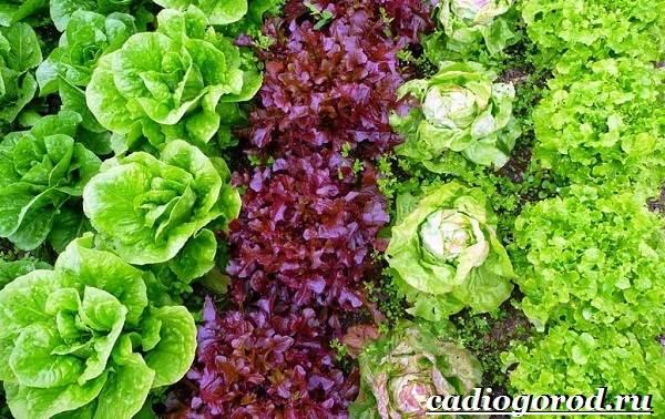 Выращивание-салата-Как-и-когда-сажать-салат-Уход-за-салатом