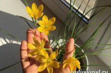 Выскочка цветок. Выращивание выскочки. Уход за выскочкой