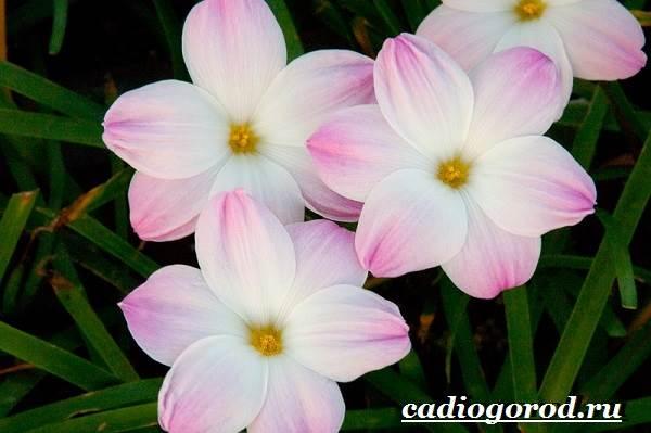 Выскочка-цветок-Выращивание-выскочки-Уход-за-выскочкой-7