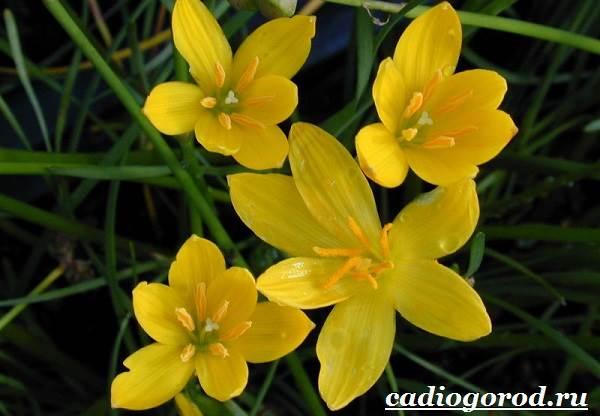 Выскочка-цветок-Выращивание-выскочки-Уход-за-выскочкой-8