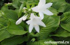 Хоста цветок. Выращивание хосты. Уход за хостой