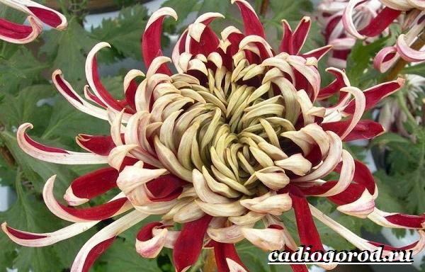 Хризантемы-цветы-Описание-особенности-виды-и-уход-за-хризантемами-11