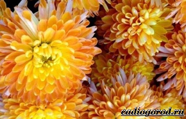 Хризантемы-цветы-Описание-особенности-виды-и-уход-за-хризантемами-15
