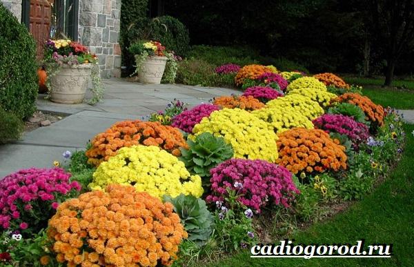 Хризантемы-цветы-Описание-особенности-виды-и-уход-за-хризантемами-17
