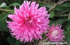 Хризантемы цветы. Описание, особенности, виды и уход за хризантемами