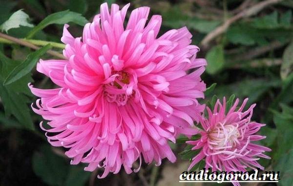 Хризантемы-цветы-Описание-особенности-виды-и-уход-за-хризантемами-18