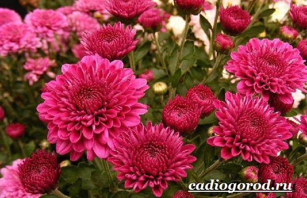 Хризантемы-цветы-Описание-особенности-виды-и-уход-за-хризантемами-19