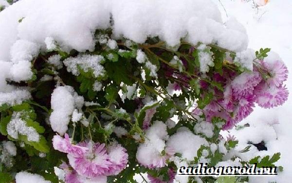 Хризантемы-цветы-Описание-особенности-виды-и-уход-за-хризантемами-23