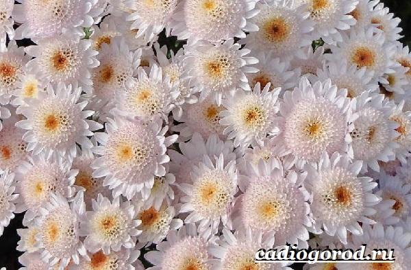 Хризантемы-цветы-Описание-особенности-виды-и-уход-за-хризантемами-3