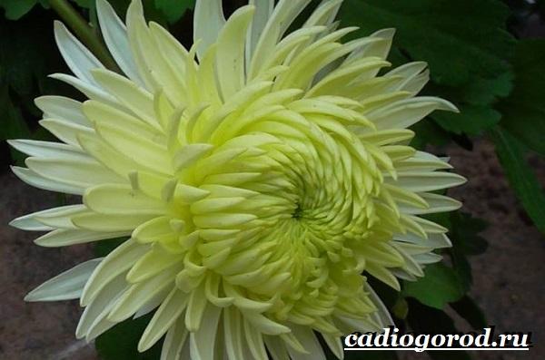 Хризантемы-цветы-Описание-особенности-виды-и-уход-за-хризантемами-4