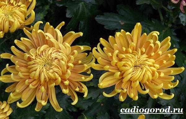 Хризантемы-цветы-Описание-особенности-виды-и-уход-за-хризантемами-5