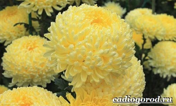 Хризантемы-цветы-Описание-особенности-виды-и-уход-за-хризантемами-8
