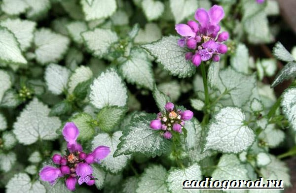 Яснотка-цветок-Описание-особенности-виды-и-уход-за-ясноткой-1