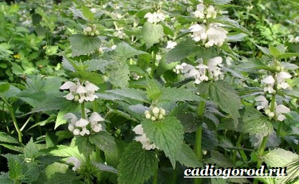 Яснотка-цветок-Описание-особенности-виды-и-уход-за-ясноткой-2