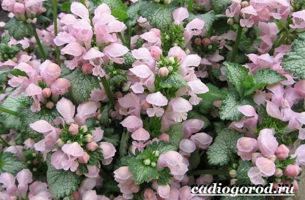 Яснотка-цветок-Описание-особенности-виды-и-уход-за-ясноткой-5