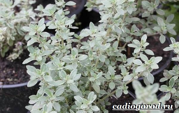 Яснотка-цветок-Описание-особенности-виды-и-уход-за-ясноткой-8
