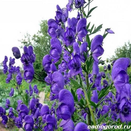 Аконит-растение-Описание-особенности-виды-и-уход-за-аконитом-4