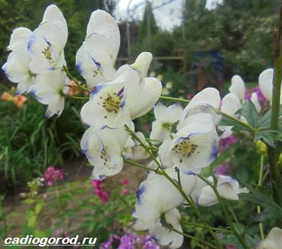 Аконит-растение-Описание-особенности-виды-и-уход-за-аконитом-5