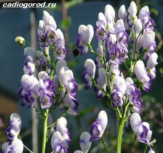 Аконит-растение-Описание-особенности-виды-и-уход-за-аконитом-6
