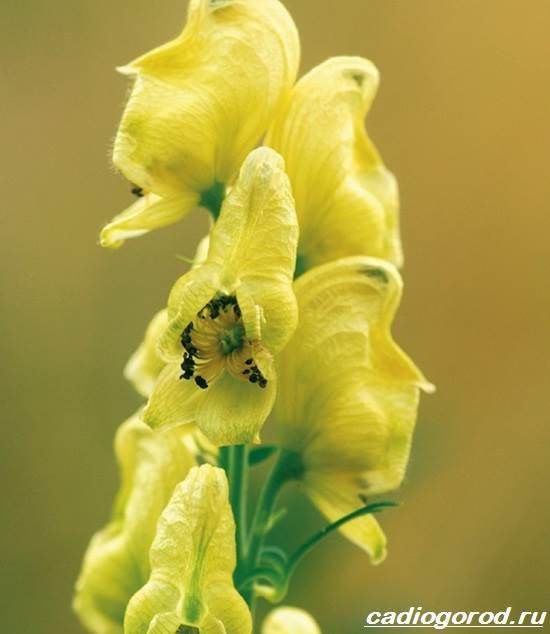 Аконит-растение-Описание-особенности-виды-и-уход-за-аконитом-8