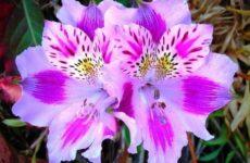 Альстромерия цветок. Описание, особенности, виды и уход за альстромерией