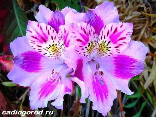Альстромерия-цветок-Описание-особенности-виды-и-уход-за-альстромерией-1