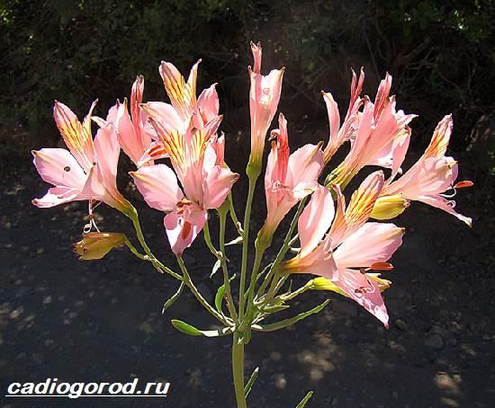 Альстромерия-цветок-Описание-особенности-виды-и-уход-за-альстромерией-4