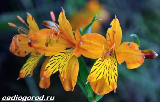 Альстромерия-цветок-Описание-особенности-виды-и-уход-за-альстромерией-5