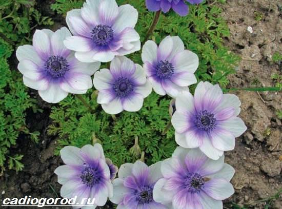 Анемоны-цветы-Описание-особенности-виды-и-уход-за-анемонами-1