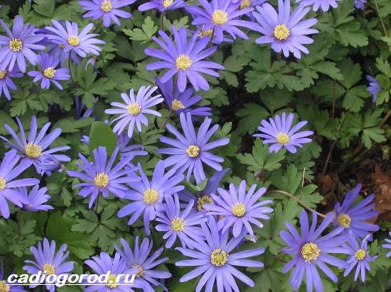 Анемоны-цветы-Описание-особенности-виды-и-уход-за-анемонами-10