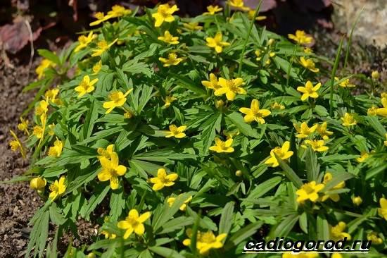 Анемоны-цветы-Описание-особенности-виды-и-уход-за-анемонами-13