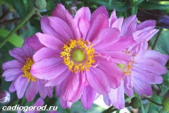 Анемоны-цветы-Описание-особенности-виды-и-уход-за-анемонами-3