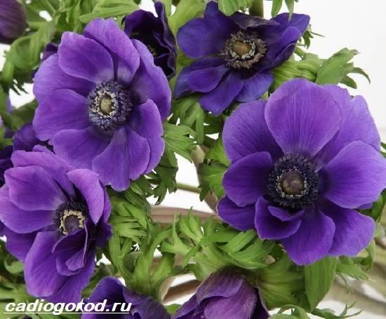 Анемоны-цветы-Описание-особенности-виды-и-уход-за-анемонами-7