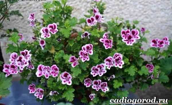 Анютины-глазки-цветы-Описание-особенности-виды-и-уход-за-анютиными-глазками-12