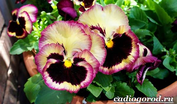 Анютины-глазки-цветы-Описание-особенности-виды-и-уход-за-анютиными-глазками-16