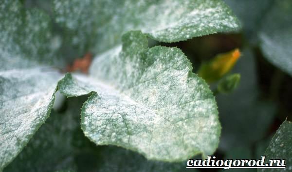 Анютины-глазки-цветы-Описание-особенности-виды-и-уход-за-анютиными-глазками-22