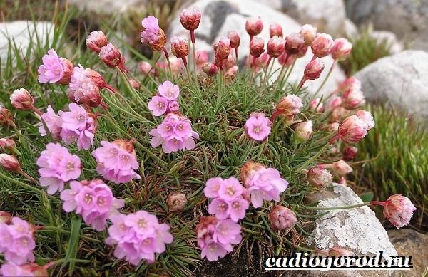 Армерия-цветок-Описание-особенности-виды-и-уход-за-армерией-1