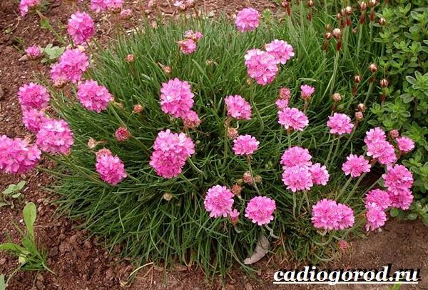 Армерия-цветок-Описание-особенности-виды-и-уход-за-армерией-6