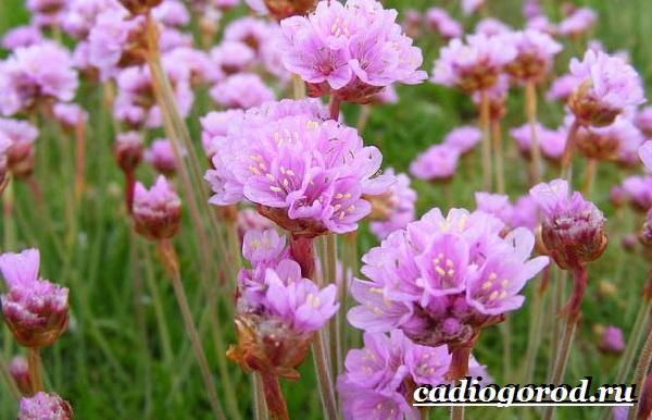 Армерия-цветок-Описание-особенности-виды-и-уход-за-армерией-8
