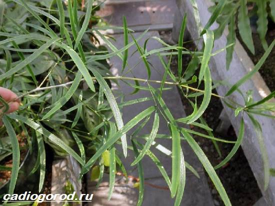 Аспарагус-цветок-Описание-особенности-виды-и-уход-за-аспарагусом-5