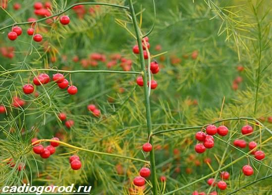 Аспарагус-цветок-Описание-особенности-виды-и-уход-за-аспарагусом-6