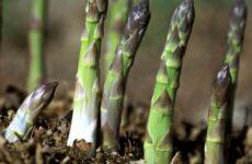 Аспарагус цветок. Описание, особенности, виды и уход за аспарагусом