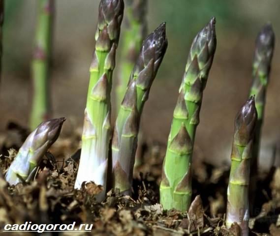 Аспарагус-цветок-Описание-особенности-виды-и-уход-за-аспарагусом-8