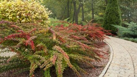 Барбарис Тунберга кустарник. Описание, особенности, виды и уход за барбарисом Тунберга