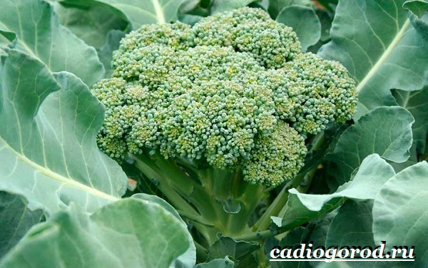 Брокколи-капуста-Выращивание-брокколи-Уход-за-брокколи-2