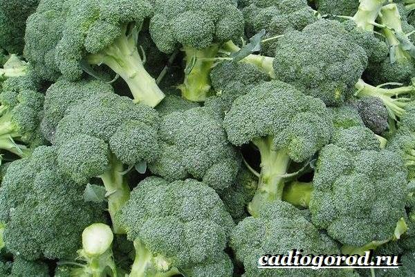 Брокколи-капуста-Выращивание-брокколи-Уход-за-брокколи-20
