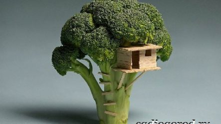 Брокколи капуста. Выращивание брокколи. Уход за брокколи