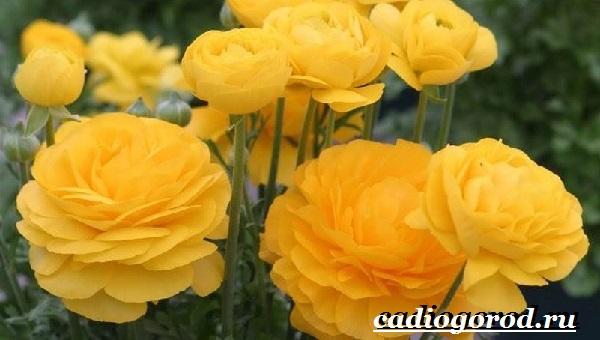Цветок-лютик-садовый-Описание-особенности-виды-и-уход-за-садовым-лютиком-1